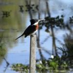 Aceptadas  2- Fauna del Delta JUAN LAUTARO BUGGIONI
